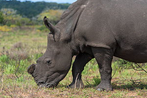 White rhinoceros (Ceratotherium simum),iSimangaliso Wetland Park UNESCO World Heritage Site, and RAMSAR Wetland. South Africa, August 2017. They are dehorned to prevent poaching. - Rhonda Klevansky