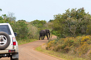 Elephant (Loxodonta africana) standing in the road of the Western Shore. iSimangaliso Wetland Park UNESCO World Heritage Site, and RAMSAR Wetland. South Africa, August 2017. Cropped.  -  Rhonda Klevansky