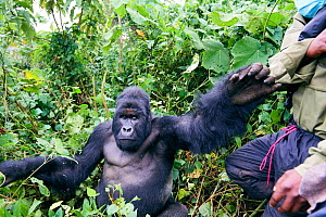 Mountain gorilla (Gorilla beringei beringei) silverback male pushing a guard from the ICCN (Congolese Institute for the Conservation of Nature) away, member of the Humba group, Virunga National Park,... - Eric Baccega