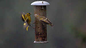 Slow motion clip of two Siskins (Carduelis spinus) fighting on a bird feeder, Carmarthenshire, Wales, UK, February.  -  Dave Bevan