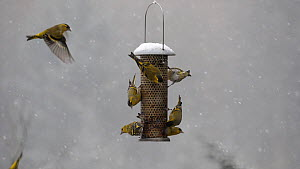Slow motion clip of a flock of Siskins (Carduelis spinus) feeding and squabbling on a bird feeder in falling snow, Carmarthenshire, Wales, UK, February.  -  Dave Bevan