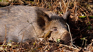 Wild boar (Sus scrofa) resting, with a Robin (Erithacus rubecula) flying past, Forest of Dean, Gloucestershire, England, UK, Janury.  -  Dave Bevan
