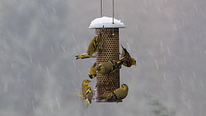 Flock of Siskins (Carduelis spinus) feeding and squabbling on a seed feeder in falling snow, Carmarthenshire, Wales, UK, February.  -  Dave Bevan