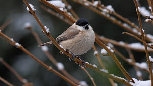 Willow tit (Poecile montanus) perched in a  snow covered tree, Carmarthenshire, Wales, UK, February.  -  Dave Bevan