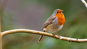 Robin (Erithacus rubecula) singing, Carmarthenshire, Wales, UK, February.  -  Dave Bevan