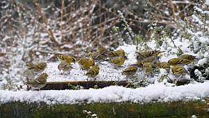 Flock of Siskins (Carduelis spinus) feeding on a bird table in falling snow, Carmarthenshire, Wales, UK, February.  -  Dave Bevan