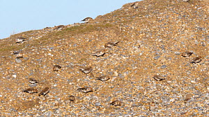 Flock of Snow buntings (Plectrophenax nivalis) feeding on a shingle ridge, Norfolk, England, UK, February. - Dave Bevan