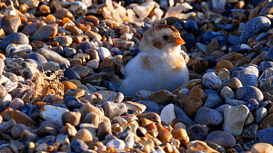 Close-up of a Snow bunting (Plectrophenax nivalis) sheltering amongst stones on a shingle beach, Norfolk, England, UK, February.  -  Dave Bevan