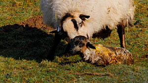 Welsh Mountain sheep  cleaning lamb, Carmarthenshire, Wales, UK, March. - Dave Bevan