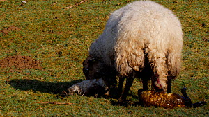 Welsh mountain sheep  cleaning afterbirth from a lamb before a second lamb is born, Carmarthenshire, Wales, UK, March.  -  Dave Bevan