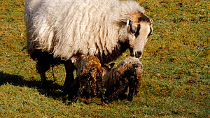 Two Welsh mountain sheep lambs attempting to stand, with mother nearby cleaning them, Carmarthenshire, Wales, UK, March. - Dave Bevan