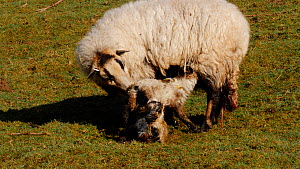 Welsh mountain sheep cleaning afterbirth from twin lambs, Carmarthenshire, Wales, UK, March. - Dave Bevan