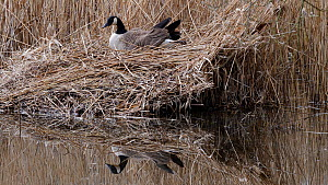 Canada goose (Branta canadensis) turning eggs over and settling to incubate them, Ceredigion, Wales, UK, March.  -  Dave Bevan