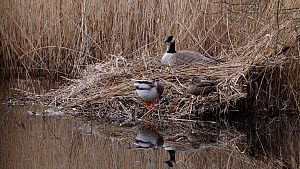 Canada goose (Branta canadensis) incubating eggs, with a pair of Mallards (Anas platyrhynchos) preening nearby, Ceredigion, Wales, UK, March. - Dave Bevan