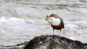 Dipper (Cinclus cinclus) perching on a boulder with beakful of nesting material, Ceredigion, Wales, UK, April.  -  Dave Bevan