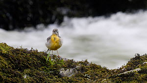 Female Grey wagtail (Motacilla cinerea) preening, Ceredigion, Wales, UK, April.  -  Dave Bevan