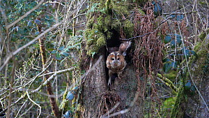 Slow motion clip of a Tawny owl (Strix aluco) leaving nest site in hollow tree, Carmarthenshire, Wales, UK, April.  -  Dave Bevan