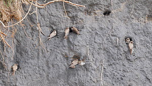 Pairs of Sand martins (Riparia riparia) at entrances to nest holes in bank of coal waste, Carmarthenshire, Wales, UK, April. - Dave Bevan