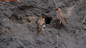 Pair of Sand martins (Riparia riparia) at nest hole in bank of coal waste, with another trying to land at the same hole, Carmarthenshire, Wales, UK, April. - Dave Bevan