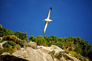 Bullers albatross (Diomedea bulleri) soaring around the Snares Islands their main breeding site.  New Zealand. - Mike Potts