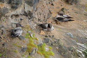 Light mantled sooty albatross (Phoebetria palpebrata) nesting on cliffs. Enderby Island. Auckland Islands.  Subantarctic New Zealand.  -  Mike Potts
