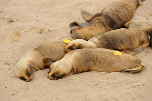 Hookers or New Zealand sealion (Phocarctos hookeri) tagged pups at beach colony.  Sandy Bay.  Enderby Island.  Auckland Islands. Subantarctic New Zealand. - Mike Potts