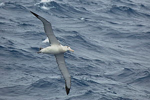 Gibsons wandering albatross (Diomedea exulans gibsoni) in flight over the ocean south of subantarctic Auckland Islands, Sub-Antarctic New Zealand. - Mike Potts