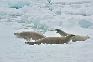 Weddell seal (Leptonychotes weddellii) resting on ice edge.  Commonwealth Bay.  East Antarctica. - Mike Potts