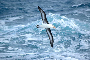 Campbell albatross (Diomedea melanophrys impavida) over sea  south of Campbell Islands.  Subantarctic New Zealand. - Mike Potts