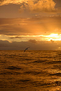 Southern royal albatross (Diomedea epomophora) in flight at sunset  Southern Ocean south of Campbell Island.  Subantarctic New Zealand. - Mike Potts