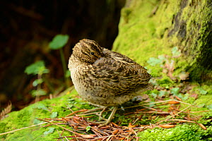New Zealand Snipe (Coenocorypha aucklandica) this is the Campbell Island race which is endemic to Campbell and Jacquemart Islands where it lives in damp mossy forests.  Subantarctic New Zealand. - Mike Potts