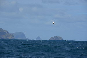 Southern Royal albatross (Diomedea epomophora) off the Campbell Islands where th majority of them breed. Subantarctic New Zealand. - Mike Potts