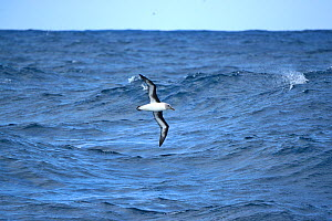 Grey Headed albatross (Diomedea chrysostoma) over sea  south of Campbell Islands.  Subantarctic New Zealand. - Mike Potts