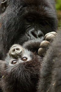 Mountain gorilla (Gorilla beringei beringei) female with baby age, 4 months, Volcanoes National Park, Rwanda  -  Mary McDonald