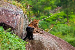 Leopard (Panthera pardus) spotted male with melanistic female resting on rocks,  Tamil Nadu, Western Ghats,  India.  -  Felis Images