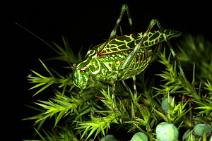 New, undescribed species of katydid in Sierra Maestra on endemic Juniperus saxicola. Cuba.  -  Eladio Fernandez