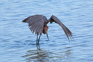 Reddish egret (Egretta rufescens) hunting, using wings to create shade, Cuba - Eladio Fernandez