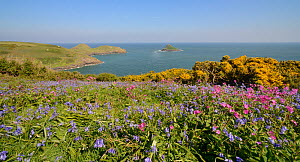 Red Campion (Silene dioica), Bluebells (Hyacinthoides non-scripta / Endymion non-scriptus) and Common gorse (Ulex europaeus) flowering on coastal grassland, Pentire Head, Cornwall, UK, May.  -  Nick Upton