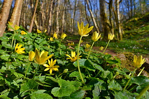 Lesser celandines (Ranunculus ficaria) flowering on woodland floor, SWT Black Rock Reserve, Cheddar Gorge, Mendip Hills, UK, April.  -  Nick Upton
