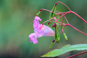 Himalayan balsam (Impatiens glandulifera) flower and seed pods close to bursting, Wiltshire, UK, September.  -  Nick Upton