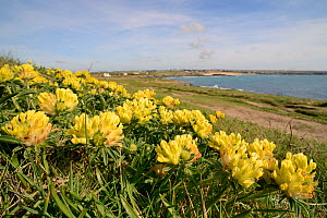 Kidney vetch (Anthyllis vulneraria) flowering on coastal grassland, Constantine Bay, Cornwall, UK, April.  -  Nick Upton