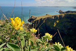 Kidney vetch (Anthyllis vulneraria) flowering on coastal grassland, Trevose Head, Cornwall, UK, May.  -  Nick Upton