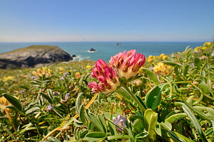 Red form of Kidney vetch (Anthyllis vulneraria) flowering on coastal grassland, Trevose Head, Cornwall, UK, May.  -  Nick Upton