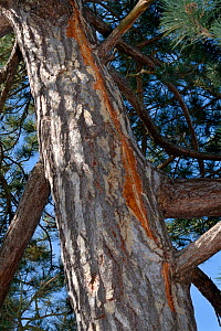 Scots pine (Pinus sylvestris) with vertical scar in the bark from a recent lighting strike, where electrical currrent ran to earth down the tree, Cambridge, UK, July.  -  Nick Upton
