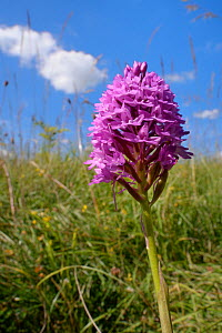 Pyramidal orchid (Anacamptis pyramidalis) flowering in a chalk grassland meadow, Wiltshire, UK, July.  -  Nick Upton