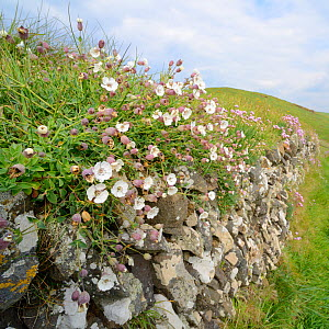Sea campion (Silene maritima) flowering in a clump on an old stone wall near thre coast, Cornwall, UK April.  -  Nick Upton