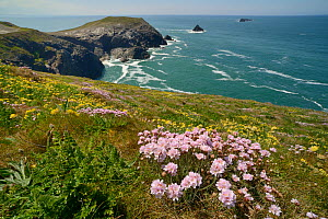 Sea thrift (Armeria maritima) and Kidney vetch (Anthyllis vulneraria) flowering on clifftop, Trevose Head, Cornwall, UK, May.  -  Nick Upton
