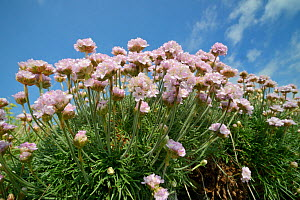 Sea thrift (Armeria maritima) clump flowering on an old wall, Cornwall, UK, May.  -  Nick Upton