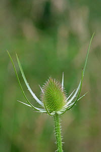 Common teasel (Dipsacus fullonum) flowerhead in bud, Wiltshire, UK, July.  -  Nick Upton
