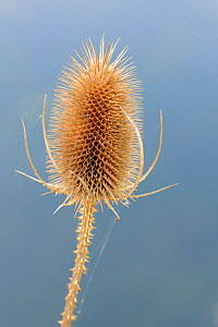 Common teasel (Dipsacus fullonum) seedhead on a river bank, Wiltshire, UK, September. - Nick Upton